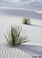 tn_White Sands_Two Yuccas